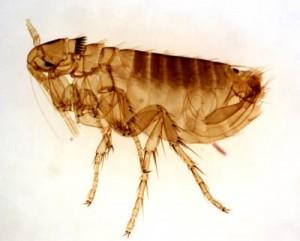 Horrific fleas invading my home!
