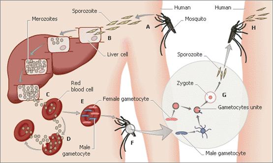 Malaria Life Cycle Diagram Malaria Life Cycle Diagram